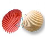 조개화석모형만들기/1인용/학습꾸러미